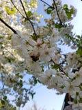 Kwitnące jabłoni gałąź Biali kwiaty przeciw jaskrawemu ?wiat?u s?onecznemu i niebieskiemu niebu niebieska spowodowana pola pe?ne  obrazy stock