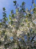 Kwitnące jabłoni gałąź Biali kwiaty przeciw jaskrawemu ?wiat?u s?onecznemu i niebieskiemu niebu niebieska spowodowana pola pe?ne  zdjęcie stock