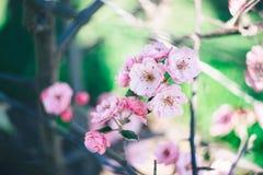 Kwitnące jabłoni menchie Pojęcie wiosna i obudzenie obrazy royalty free