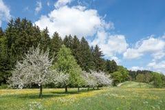 Kwitnące jabłonie w wiejskim krajobrazie Obrazy Royalty Free