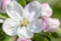 Kwitnące jabłonie w wiosna jabłczanym sadzie Obrazy Royalty Free