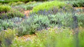 Kwitnące lawendowe rośliny przy Alii Kula lawendą Uprawiają ziemię na Maui Obrazy Royalty Free
