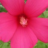 Kwitnące menchie kwitną makro- Zdjęcie Stock