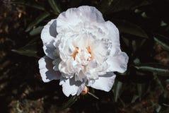 Kwitnące peonie w kwiatu łóżku fotografia royalty free