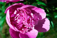 Kwitnące peonie w kwiatu łóżku obrazy royalty free