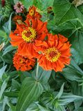 Kwitnące pomarańczowe cynie kwitną z żółtym pollen w kwiatu ogródzie Obrazy Stock
