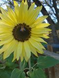 Kwitnące pszczoły zdjęcia stock