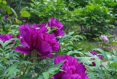 Kwitnące purpurowe peonie Fiołkowe peonie w miasto ogródzie obrazy royalty free