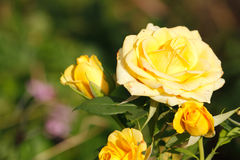 kwitnące róże Fotografia Royalty Free