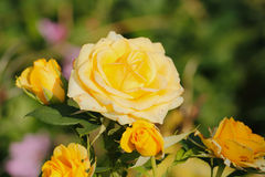kwitnące róże Zdjęcie Royalty Free