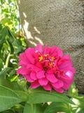 Kwitnące Różowe cynie kwitną na workowym tekstury tle Fotografia Royalty Free