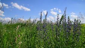 Kwitnące szałwie Superba zamknięty w górę dzikiej łąki dalej zbiory wideo