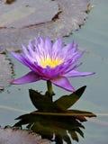 Kwitnące tropikalne purpury i żółta wodna leluja odbija w wodzie Obrazy Royalty Free