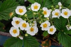 Kwitnące truskawek rośliny krzaka nieba truskawki truskawkowe kwitnie truskawkowego biel ogrodowe truskawki Zakończenie Selekcyjn Zdjęcie Royalty Free