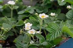 Kwitnące truskawek rośliny krzaka nieba truskawki truskawkowe kwitnie truskawkowego biel ogrodowe truskawki Zakończenie Selekcyjn Obraz Royalty Free