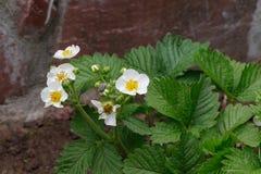 Kwitnące truskawek rośliny krzaka nieba truskawki truskawkowe kwitnie truskawkowego biel ogrodowe truskawki Zakończenie Selekcyjn Obrazy Royalty Free