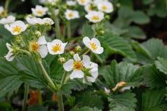 Kwitnące truskawek rośliny krzaka nieba truskawki truskawkowe kwitnie truskawkowego biel ogrodowe truskawki Zakończenie Selekcyjn Obraz Stock