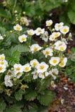 Kwitnące truskawek rośliny krzaka nieba truskawki truskawkowe kwitnie truskawkowego biel ogrodowe truskawki Zakończenie Selekcyjn Fotografia Stock