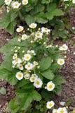 Kwitnące truskawek rośliny krzaka nieba truskawki truskawkowe kwitnie truskawkowego biel ogrodowe truskawki Zakończenie Selekcyjn Obrazy Stock