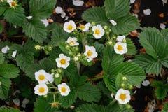 Kwitnące truskawek rośliny krzaka nieba truskawki truskawkowe kwitnie truskawkowego biel ogrodowe truskawki Zakończenie Selekcyjn Zdjęcia Royalty Free