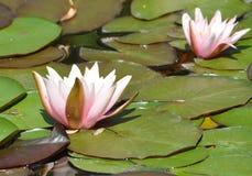 Kwitnące wodne leluje na jeziorze Zdjęcia Stock