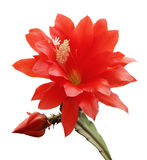 kwitnącego kaktusa odosobniona orchidea zdjęcia royalty free