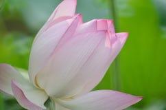 Kwitnącego lotosowego kwiatu i Lotosowego kwiatu rośliny Zdjęcia Stock