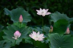 Kwitnącego lotosowego kwiatu i Lotosowego kwiatu rośliny Fotografia Stock