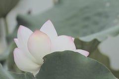 Kwitnącego lotosowego kwiatu i Lotosowego kwiatu rośliny Obrazy Royalty Free