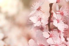 Kwitnącego mirabelki śliwkowy drzewo Obrazy Royalty Free