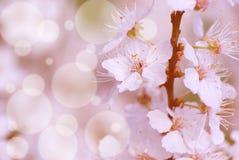Kwitnącego mirabelki śliwkowy drzewo Fotografia Stock