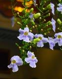 Kwitnącego Thunbergia grandiflora kwiaty zdjęcia stock