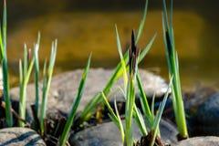 Kwitnącego turzycy Carex nigra Carex melanostachya Czarna lub pospolita turzyca na ogrodowym stawowym brzeg fotografia stock