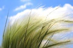 kwitnącej piórkowej trawy Piękny jaskrawy - zielona puszysta trawa przeciw niebieskiemu niebu z białymi chmurami zdjęcia royalty free