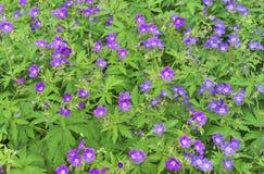 Kwitnący łąkowy bodziszka bodziszka pratense Lasowy bodziszek kwitnie lilych kwiaty zdjęcie stock
