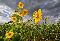 kwitnący śródpolni słoneczniki Zdjęcia Stock