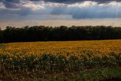 kwitnący śródpolni słoneczniki Zdjęcie Royalty Free