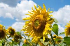 kwitnący śródpolni słoneczniki Obraz Stock