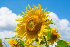 kwitnący śródpolni słoneczniki Obraz Royalty Free