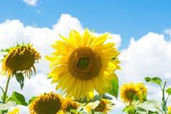 kwitnący śródpolni słoneczniki Fotografia Royalty Free