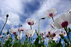 kwitnący śródpolny maczek Obraz Stock
