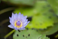 Kwitnący światło - purpurowy lotosowy kwiat Obraz Royalty Free