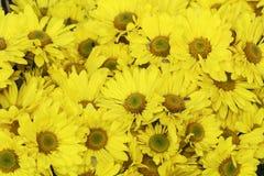 Kwitnący żółty kwiat Obrazy Stock