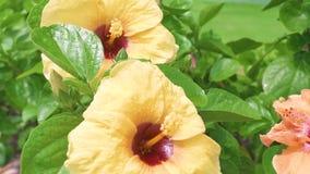 Kwitnący żółty poślubnik i zieleni liście zamykamy w górę Kwiatonośny poślubnika kwiat na zielonym ulistnienia tle tropikalny zdjęcie wideo