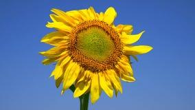 kwitnący żółty słonecznik zbiory