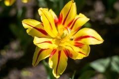 Kwitnący żółty tulipan w wiośnie zdjęcie stock