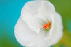 kwitnący Zdjęcie Royalty Free
