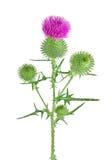 Kwitnący agrimony z zielonymi liśćmi Fotografia Royalty Free