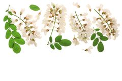 Kwitnący akaci z liśćmi odizolowywającymi na białym tle, akacja kwitnie, grochodrzewu pseudoacacia z kopii przestrzenią dla tekst zdjęcie stock