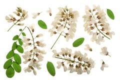 Kwitnący akaci z liśćmi odizolowywającymi na białym tle, Akacjowi kwiaty, grochodrzewu pseudoacacia Biała akacja fotografia royalty free